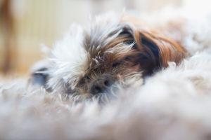 Shi Tzu liegt schlafend auf flauschigen Teppich
