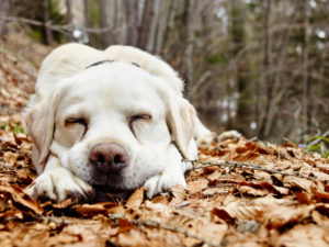 weißer Labrador Hund liegt mit geschlossenen Augen auf laubbedecktem Weg