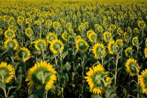 Sonnenblumen auf Feld abgewandt von hinten