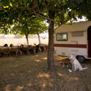 Wohnwagen auf Wiese mit zwei Hunden davor und einer Schafherde dahinter
