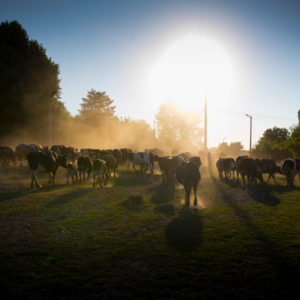 Viehtrieb einer Kuhherde im Gegenlicht mit staubigen Boden