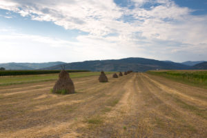 harvested field with hay stacks