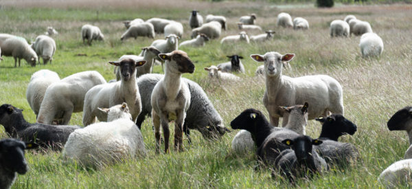 Sheep on Hiddensee