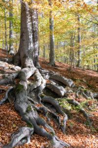 Verschlungene Wurzel, Herbstwald, Harz.