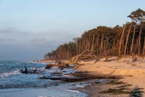 Fischland, Darß, Weststrand im Abendlicht, Windflüchter