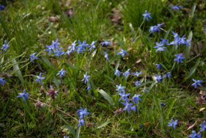 Siberian squill in the north park of Magdeburg, squill, Scilla