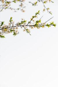Blüten einer Wildkirsche