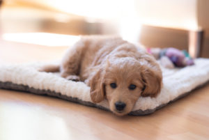 An 8-week-old Mini Goldendoodle (a mixture of a golden retriever and a miniature poodle) lies on its blanket