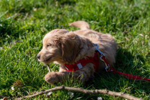 An 8-week-old Mini Goldendoodle (a mixture of a golden retriever and a miniature poodle) plays with a stick
