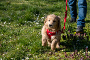 An 8 week old Mini Goldendoodle (a mixture of a golden retriever and a miniature poodle) on a walk