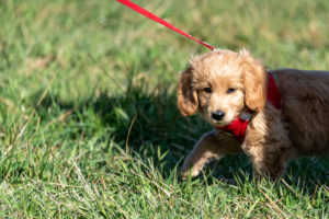 An 8-week-old Mini Goldendoodle (a mixture of a golden retriever and a miniature poodle) sneaks across a meadow.
