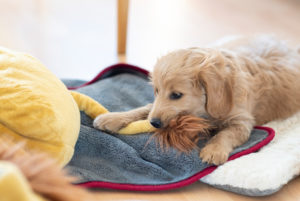 An 8 week old Mini Goldendoodle (a mixture of a golden retriever and a miniature poodle) bites the tail of a stuffed lion.