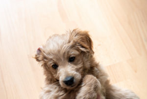 An 8 week old Mini Goldendoodle (a mixture of Golden Retriever and Miniature Poodle) lies on the back.
