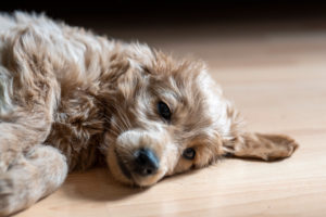 An 8 week old Mini Goldendoodle (a mixture of a golden retriever and a miniature poodle) lies on a laminate floor.