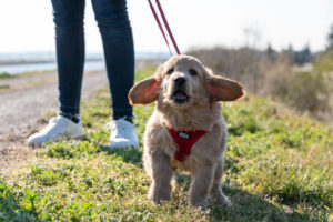 An 8-week-old Mini Goldendoodle (a mixture of a golden retriever and a miniature poodle) runs with its ears protruding over grass.