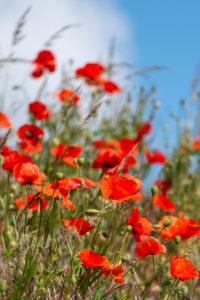 Poppy seeds, flower strips