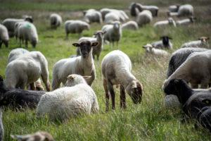 Schafe auf Hiddensee