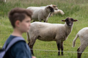 Sheep on Hiddensee, boy is watching the animals