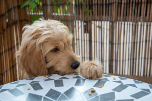 Mini Goldendoodle, cross between miniature poodle and golden retriever, steals a biscuit from the table.