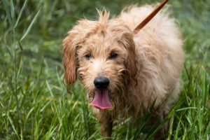 Junghund, Mini Goldendoodle, Mischung aus Golden Retriever und Zwergpudel