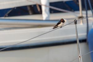 A barn swallow (Hirundo rustica) sits on a sailboat