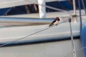 Eine Rauchschwalbe (Hirundo rustica) sitzt auf einem Segelboot