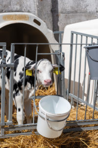 Calf stands by the drinking bucket