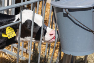 Calf sucks on the drinking bucket