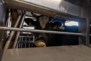 Germany, Saxony-Anhalt, Hamersleben, domestic cattle (Bos primigenius taurus), cow in the milking parlor