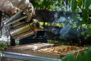 Imker räuchert Bienen ein