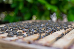 Europäische Honigbienen (Apis mellifera)