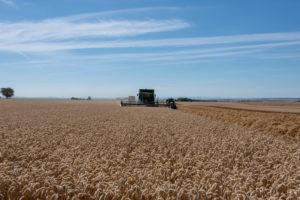 Combines harvest winter wheat