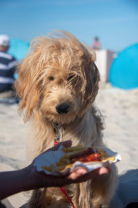 Dog, Mini Goldendoodle, wants to eat french fries