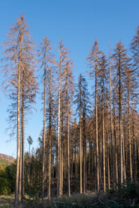 Germany, Saxony-Anhalt, Ilsenburg, dead spruce trees (Picea abies) after being infested and eaten by the large eight-toothed spruce bark beetle, book printer (Ips typographus), Harz National Park