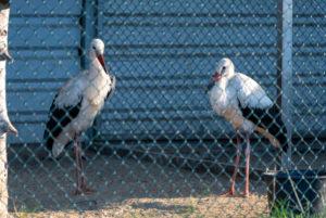 Germany, Saxony-Anhalt, Loburg, injured storks, Vogelschutzwarte Loburg, sanctuary for injured storks