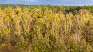 Deciduous trees with mistletoe