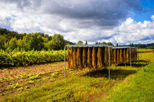 Tobacco growing on the Dordogne