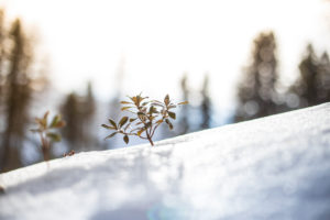 A plant breaks through a closed blanket of snow in the Tyrolean Alps