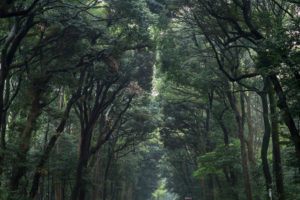 A dense forest in Japan separated by a path