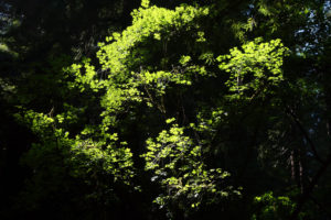 Green leaves illuminated by sunlight