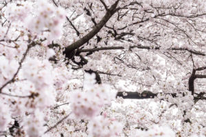 Close-up of a blossoming cherry tree in Japan
