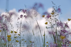 Flower meadow, grasses and cuckoo flower