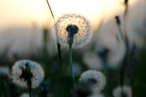Pusteblumen im Sonnenuntergang