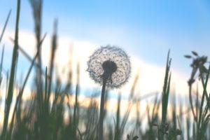 Dandelion in front of a blue sky,