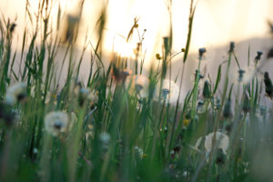 Dandelion meadow photographed in backlight