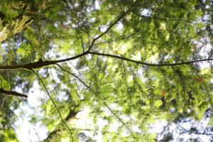 Silver fir in the summer