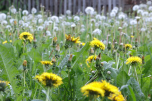 Common dandelion in flower and in seed stand