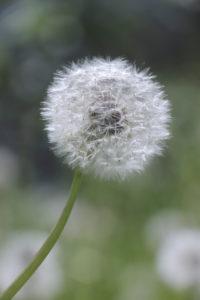 Blowball in soft light