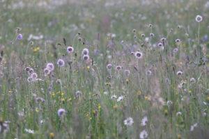 Summer meadow in purple