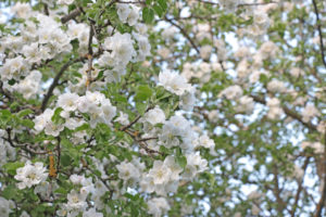 Snow-white apple blossom